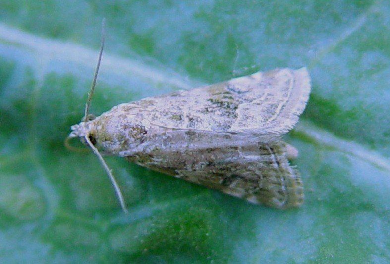 <p>Moth of the <b>cabbage webworm</b> <i>(Hellula undalis</i>. Moths are greyish-brown with pale dusky hindwings; each forewing has as stemborer on a prominent black spot and zigzagging, light brown lines, central band between lines sometimes filled with darker brown scales. Wingspan about 1.2 cm.</p>      <p> © A. M. Varela, icipe</p>