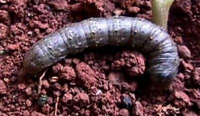 "<p><b>Cutworm </b> <i>(Agrotis sp.) </i> Early <a href=""/taxonomy/term/283"" title=""Growth stages. "" class=""lexicon-term"">instar</a>s are about 7-12 mm long. Fully grown caterpillars are 35-50 mm long. </p>      <p>(c) A.M. Varela, icipe</p>"