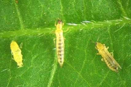 <p><b>Western flower thrips</b> (<i>Frankliniella occidentalis</i>). Close-up, immature thrips (left) and adults. Very much enlarged. Real size (0.9 to 1.1 mm)</p>      <p> (c) M. Billah, icipe</p>