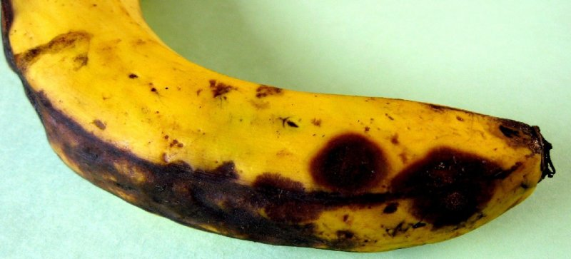 <p><b>Anthracnose fruit rot</b> on banana</p>      <p> (c) A.A. Seif, icipe</p>
