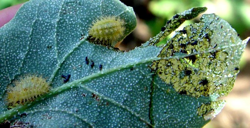 <p><b>Epilachna larvae </b>and damage to cucurbit leaf. Adults and larvae feed on the leaf surface, scraping away cells to form open windows, causing the leaf to wither. Extensive feeding can completely skeletonize the leaf. </p>     <p>(c) A.M.Varela, icipe</p>