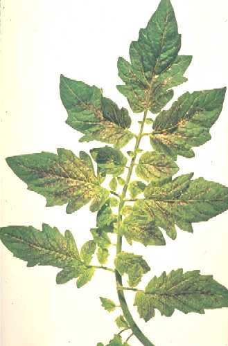 <p>Bronzing of tomato leaves caused by <b>Tomato spotted wilt tospovirus</b>.</p>      <p>(c)  Hort Research, New Zealand</p>