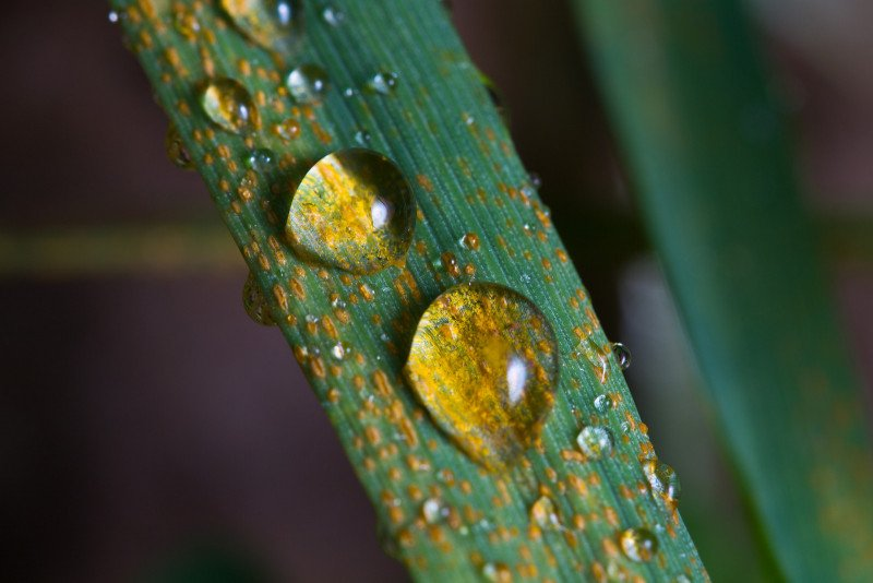 <p><b>Yellow rust</b>(<i> Puccinia striiformis </i>)  on wheat, with droplets of rain</p>      <p>(c)  A. Yaqub, CIMMYT, 2011</p>