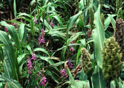 """<p><b>Purple witchweed</b> <i>(Striga hermonthica)</i></p>      <p>(c) USDA APHIS Archives, <a href=""""http://www.insectimages.org"""">www.insectimages.org</a></p>"""