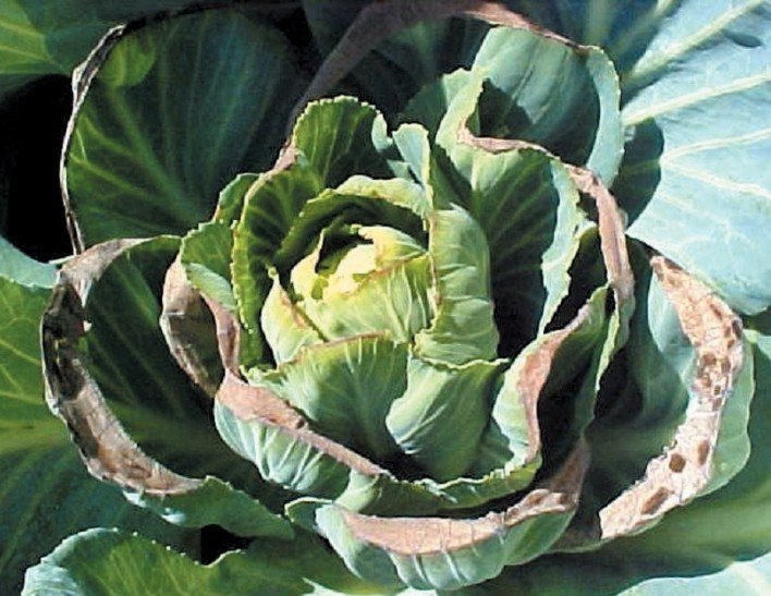 """<p><b>Calcium deficiency in cabbage </b>exhibits characteristic """"tip burn"""" at tips/edges of the leaf. Leaves are deformed and cabbage head will not form if supplemental calcium is not applied. Cupping of leaves is typical.</p>      <p>(c) David B. Langston, University of Georgia, Bugwood.org</p>"""