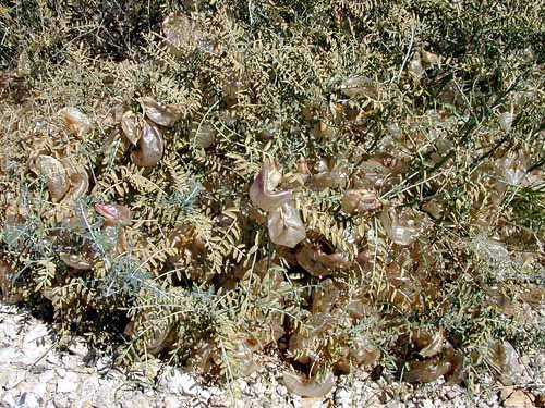 """<p><b>Sutherlandia frutescens bush with fruit</b> The fruit, which are inflated pods, become pale brown and papery when ripe and accumulate under and on the bush in large numbers.</p>     <p>(c) Courtesy EcoPort (<a href=""""http://www.ecoport.org"""">http://www.ecoport.org</a>): M. Jooste </p>"""