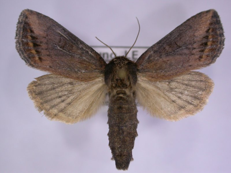 <p>Female moth of African maize stalkborer (Busseola fusca) . Wingspan is about 2.5 to 3.5 with females and larger males.</p>      <p>(c) B. Le Ru, icipe</p>