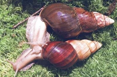 "<p><b>Giant African Snail </b>(<i>Achatina fulica</i>). Adults of the species may exceed 20 cm in shell length but generally average about 5 to 10cm</p>      <p>(c) Courtesy EcoPort (<a href=""http://www.ecoport.org"">http://www.ecoport.org</a>): Yuri Yashin, <a href=""http://www.insectimages.org"">www.insectimages.org</a>. </p>"