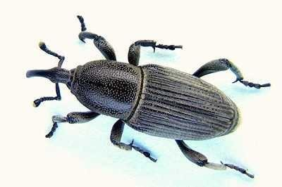 <p><b>Banana Weevil Borer</b> (<i>Cosmopolites sordidus</i>). Adults attain a body lenght of 1-1.6 cm and are black or very dark brown. </p>      <p>© Georg Goergen/IITA Insect Museum, Cotonou, Benin. Reproduced from the Crop Protection Compendium, 2004 Edition. CAB International, Wallingford.</p>