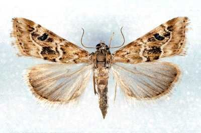 <p><b>Cabbage webworm adults </b>are greyish-brown with pale dusky hindwings; each forewing has a prominent black spot and zigzagging, light brown lines, central band between lines sometimes filled with darker brown scales. Wings ca 1.2 cm long in males, 1.4 cm in females.</p>      <p>© David Agassiz. Reproduced from the Crop Protection Compendium, 2005 Edition.© CAB International, Wallingford, UK, 2005.</p>