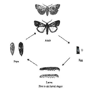 "<p><b>Lifecycle of armyworm </b>10 to 300 eggs are laid by an adult female moth, on the leaves. The eggs are white and become dark brown just before hatching (about 0.5 mm in <a href=""/taxonomy/term/269"" title=""Thickness or width. "" class=""lexicon-term"">diameter</a>). Depending on temperature the eggs hatch after 2 to 5 days. Larval stage takes 14 to 22 days. Pupal stage lasts 7 to 15 days. Adult moth lifespan is 5 to 16 days. In East Africa, the lifecycle lasts about 25 days at an average temperature of 26 degree Celsius. </p>      <p>© IRRI Rice doctor</p>"