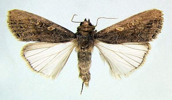 <p><b>Armyworm, adult female moth</b> (<i>S. exempta</i>) (museum set specimen). 1.4 to 1.8 cm long and with a wingspan of about 3 cm. </p>      <p>© Georg Goergen/IITA Insect Museum, Cotonou, Benin. Reproduced from the Crop Protection Compendium, 2004 Edition. </p>