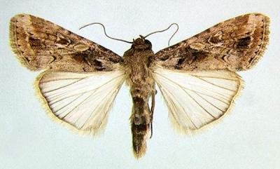 <p><b>Armyworm, adult male moth</b><i> S. exempta</i> (museum set specimen). 1.4 to 1.8 cm long and with a wingspan of about 3 cm. </p>      <p>© Georg Goergen/IITA Insect Museum, Cotonou, Benin. Reproduced from the Crop Protection Compendium, 2004 Edition. </p>