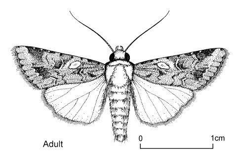 <p><b>Armyworm, adult moth</b> - line drawing. Stout-bodied moths of typical noctuid appearance, 1.4 to 1.8 cm long with a 2.9 to 3.2 cm wingspan.</p>      <p> © Dennis S. Hill. Reproduced from the Crop Protection Compendium, 2004 Edition. 	</p>