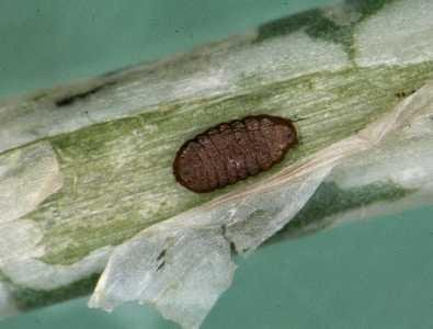 """<p><b>Leafminer</b> (<i>Liriomyza sativae</i>) pupa within tunnel of onion. They are oval, slightly flattened and about 1 - 2 mm long. </p>      <p>(c) Whitney Cranshaw, Colorado State University, Insect Images (<a href=""""http://www.insectimages.org"""">www.insectimages.org</a>)</p>"""