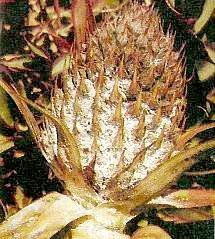 "<p>Severe infestation of <b>pineapple mealybugs </b>on the fruit</p>      <p>(c) Courtesy EcoPort (<a href=""http://www.ecoport.org"">http://www.ecoport.org</a>): Bedford ECG, de Villiers EA </p>"