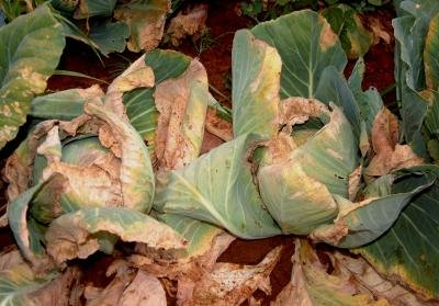 <p><b>Bacterial black rot </b>on cabbage</p>      <p>(c) G. Gichini, icipe</p>
