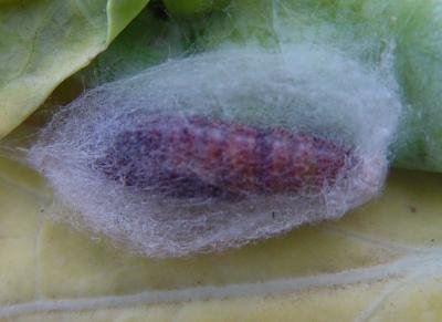 <p><b>Pupa of the cabbage looper</b>. During its last larval stage the caterpillar spins a cocoon.</p>      <p>(c) A. M. Varela, icipe </p>
