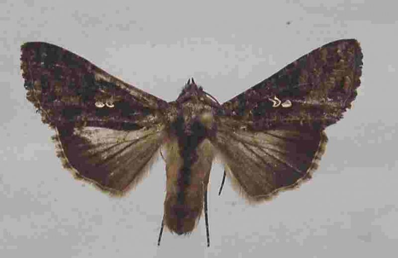<p><b>Moth of the cabbage looper</b>. Real size: ca 2.5 cm in length, wingspan is ca. 4 cm</p>      <p>(c) A. M. Varela, icipe </p>