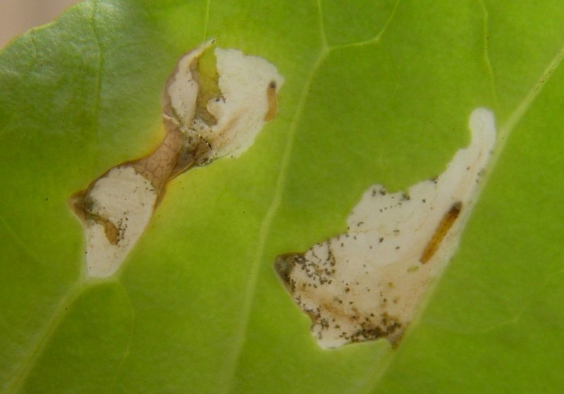 "<p><b>First <a href=""/taxonomy/term/283"" title=""Growth stages. "" class=""lexicon-term"">instar</a> caterpillars of the cabbage webworm </b>feeding in a leaf of kale. </p>      <p>© A. M. Varela, icipe</p>"