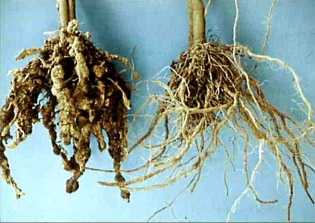 "<p><b>Root-knot nematodes</b> <i>(Meloidogyne incognita / M. javanica)</i> Roots of severely attacked (left) and healthy plant (right). Affected plants are normally stunted and eventually wilt and die. The most characteristic <a href=""/taxonomy/term/309"" title=""Symptom - the plant&#039;s response to the disease causing organism, examples are; changes in plant color, death of infected tissues, and wilting. It is the external or internal physical characteristic of a disease as expressed by the host plant. "" class=""lexicon-term"">symptom</a> is formation of root galls (knots) and these can be seen with the naked eye. Affected roots rot.</p>      <p>(c) A. M. Varela, icipe</p>"
