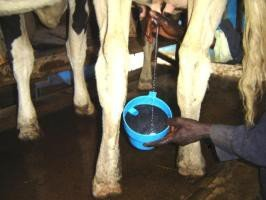 Use of strip cup for testing Mastitis