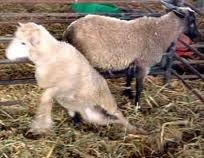 Copper deficiency in Lambs