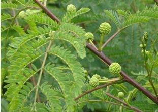 Leucaena leucocephalia shrub