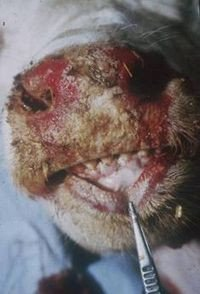 Ulcerated nose and mouth of a cow with mucosal disease