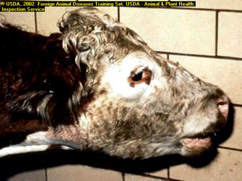 Contagious Pleuropneumonia in Cattle (CBPP)