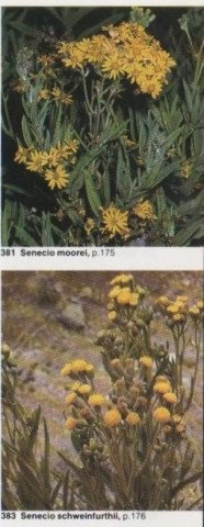 Senecio pictures