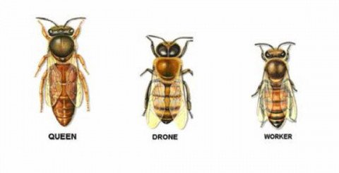 Honeybee castes in a colony. Illustration.