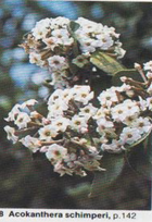 Acokanthera flowers