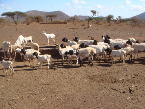 Black Persian Sheep in arid area, Isiolo