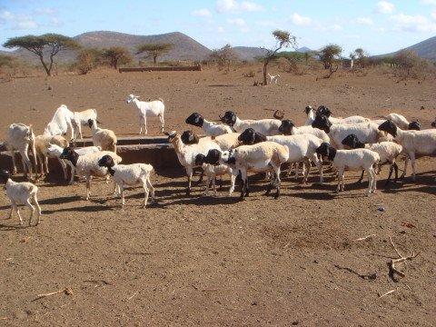 Black Persian Sheep in arid area, Isiolo