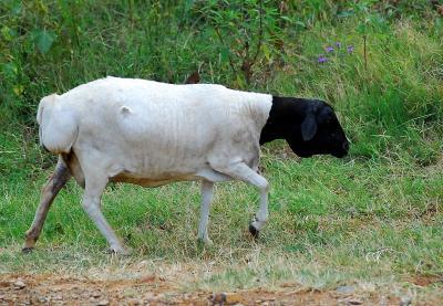 Black Persian sheep