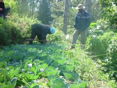 Hand weeding in a cabbage plot