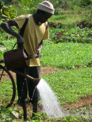A smallholder farmer watering a kale nursery bed