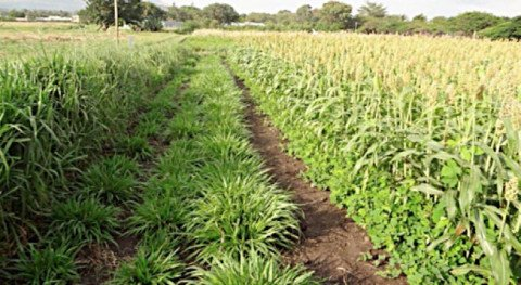 A climate adapted push-pull plot, showing sorghum intercropped with greenleaf desmodium