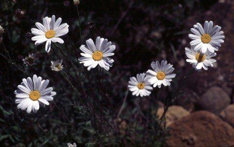 Pyrethrum (Tanacetum cinerariifolium)