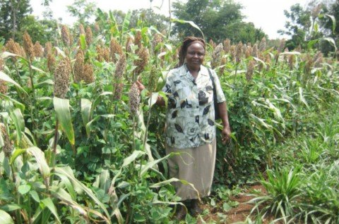 Mrs Alice Odima, a farmer in Siaya, western Kenya, in her sorghum climate-smart push-pull plot
