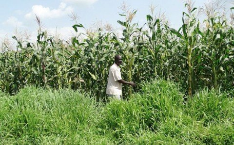 Mr Joseph Odek, a farmer in Homabay County, facing severe impact of climate change in his push-pull field