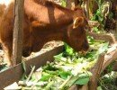 Dairy cow feeding on banana stems