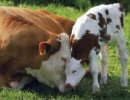 Organic norms for animal health