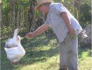 Geese can be close to humans