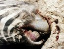 Deceased zebra with signs of Anthrax