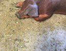 Pig saved from slaughterhouse