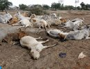 Bovines affected from drought
