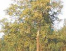 Prunus africana Tree