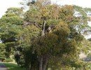 African Ironwood